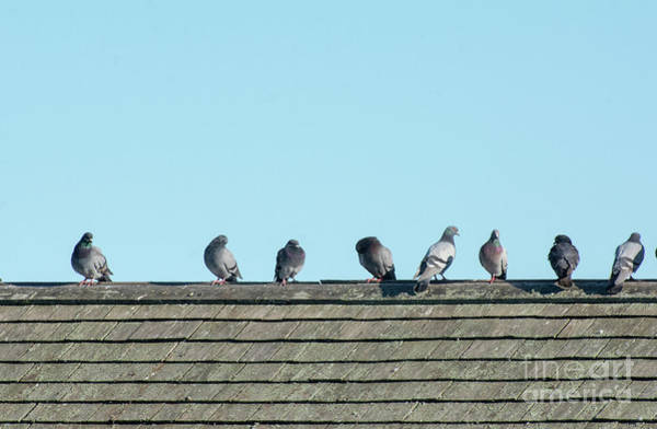 Photograph - Pigeon Perch by Ruth H Curtis