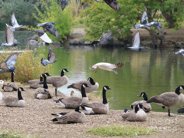 Photograph - Pigeons Take Flight, Geese Stand Still by Carol Groenen