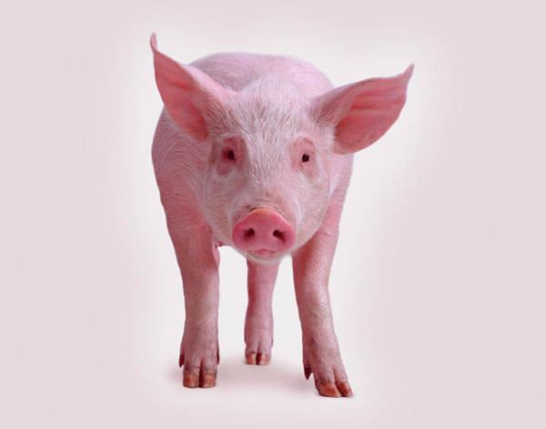 Pig Photograph - Piglet by Bob Elsdale