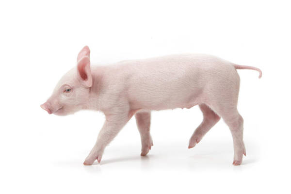 Pig Photograph - Piglet by Fuse