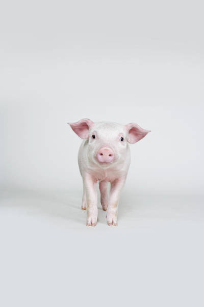 Pig Photograph - Piglet, Studio Shot by Hudzilla
