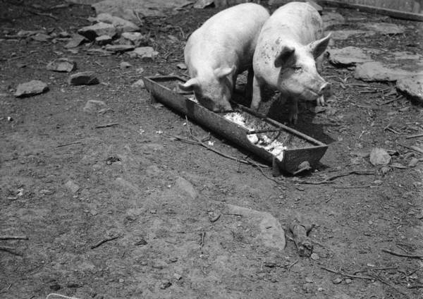 Pig Photograph - Pigs Dinner by Chaloner Woods