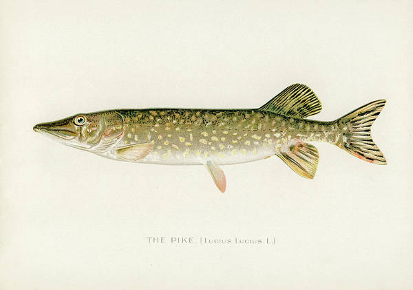 Drawing - Pike by David Letts