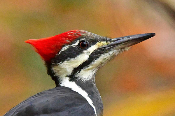 Wall Art - Photograph - Pileated Woodpecker, 9118 by Michael Peychich
