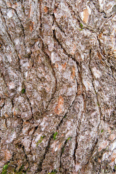 Photograph - Pine Bark Abstract by Christina Rollo