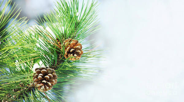Wall Art - Photograph -  Pine Cone On Fir Tree Brunch Under Snow by Jelena Jovanovic