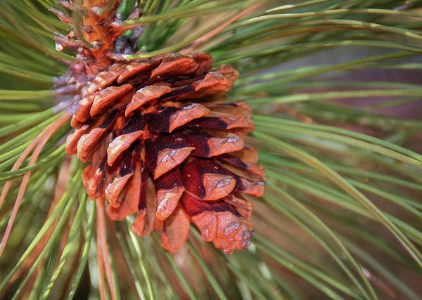 Photograph - Pine Cone by Patti Deters