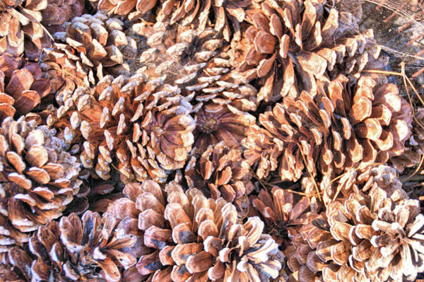 Photograph - Pine Cones by JAMART Photography