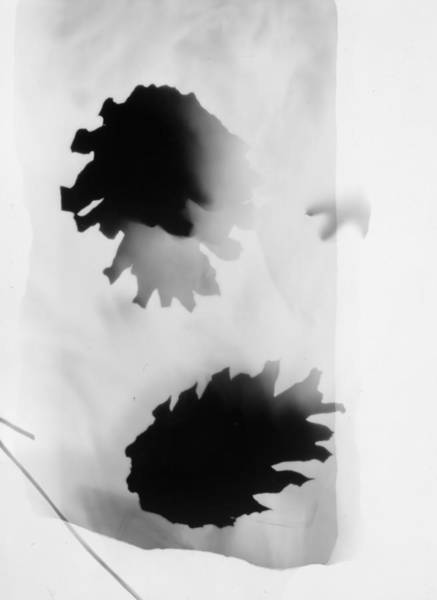 Photograph - Pine Cones Monochrome Photogram White Background  by Itsonlythemoon
