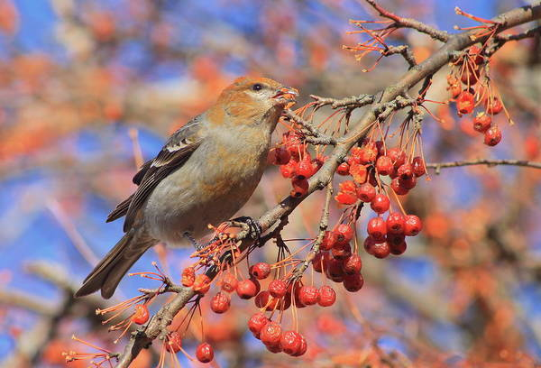 Wall Art - Photograph - Pine Grosbeak In Fruit Tree by John Burk
