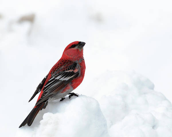Photograph - Pine Grosbeak In The Snow by Susan Rissi Tregoning