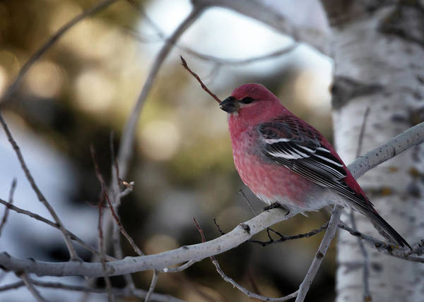 Photograph - Pine Grosbeak Male by Susan Rissi Tregoning