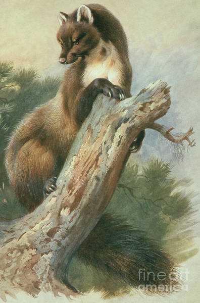 Stump Painting - Pine Marten, 1919 by Archibald Thorburn