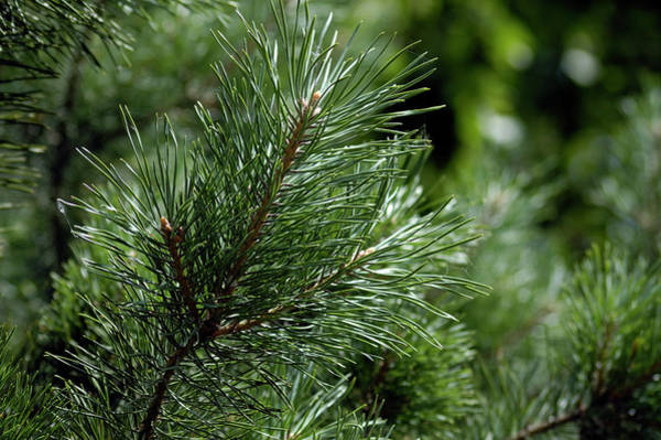 Pine Tree Photograph - Pine by Mikbis