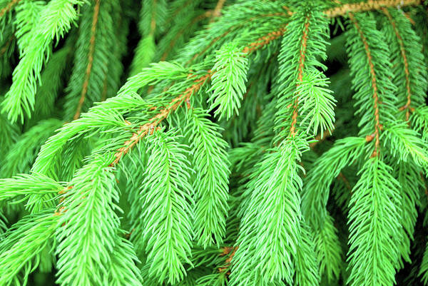 Photograph - Pine Needles by JAMART Photography