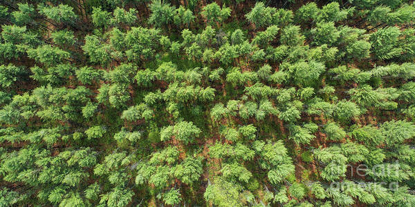 Wall Art - Photograph - Pine Rows Aerial 2x1 by Twenty Two North Photography