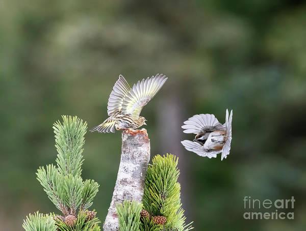 Wall Art - Photograph - Pine Siskin And Boreal Chickadee by Louise Heusinkveld
