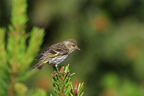 Photograph - Pine Siskin by Ronnie and Frances Howard