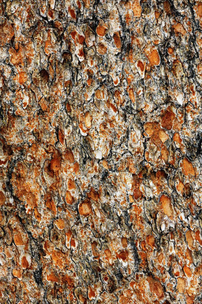 Wall Art - Photograph - Pine Tree Bark, White Mountains by Adam Jones