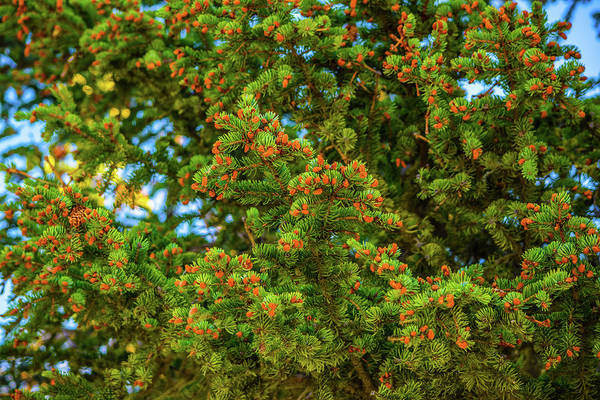 Wall Art - Photograph - Pine Tree  by Edward Garey