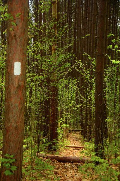 Photograph - Pine Tree Grove In Vt Along The Appalachian Trail by Raymond Salani III