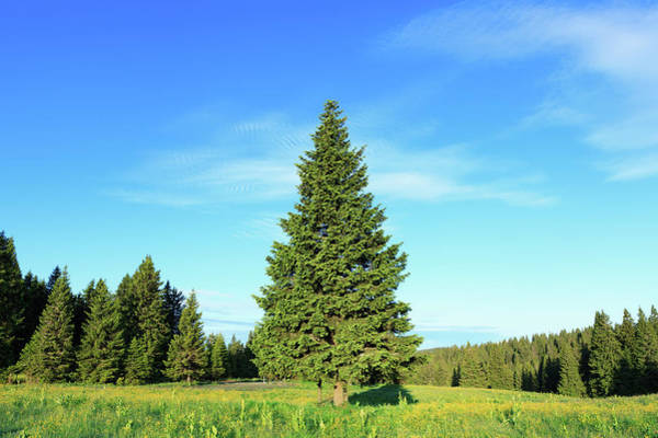 Pine Tree Photograph - Pine Tree In Spring by Borchee