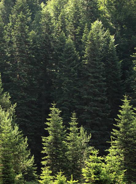 Pine Tree Photograph - Pine Tree by Petekarici