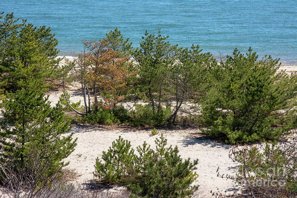 Photograph - Pine Trees In The Sand by Ruth H Curtis
