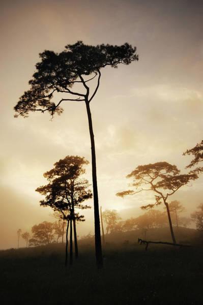 Thailand Photograph - Pine Trees by Piriya Photography