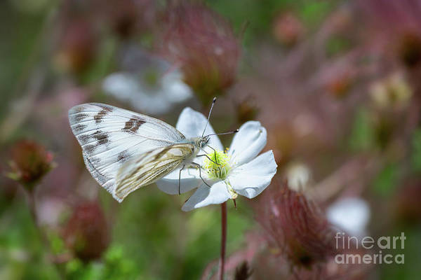 Photograph - Pine White Butterfly by Susan Warren