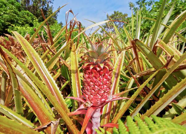 Wall Art - Photograph - Pineapple Plant Ananas Pico Island Azores Portugal by imageBROKER - Karol Kozlowski
