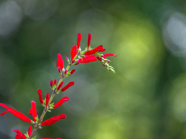 Photograph - Pineapple Sage by Keith Smith