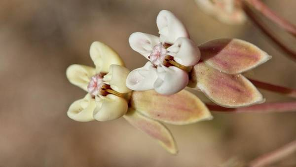Photograph - Pinewoods Milkweed Flowers by Paul Rebmann