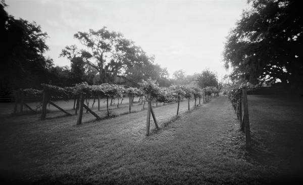Photograph - Pinhole Vineyard 071902 by Rudy Umans
