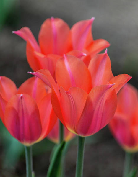 Photograph - Pink And Orange Spring Tulips By Tl Wilson Photography by Teresa Wilson