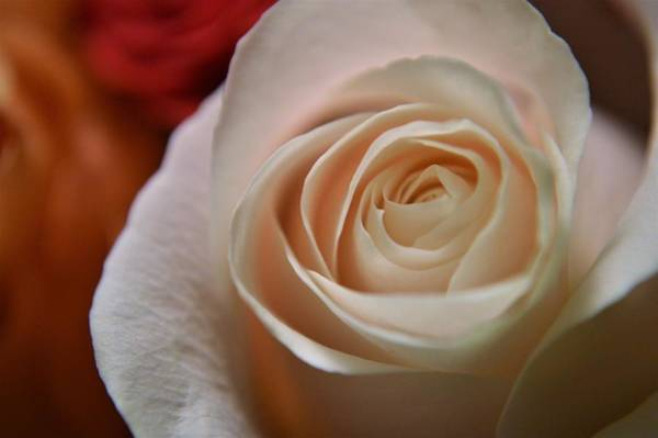 Wall Art - Photograph - Pink And Pretty Rose by Tim Votapka