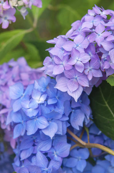 Photograph - Pink And Purple Blooms Of Hydrangea by Jenny Rainbow