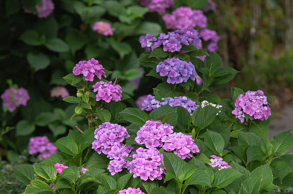 Photograph - Pink And Purple Blooms Of Hydrangea Macrophylla by Jenny Rainbow