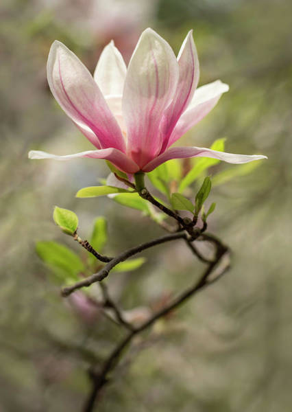 Photograph - Pink And White Blooming Magnolia by Jaroslaw Blaminsky