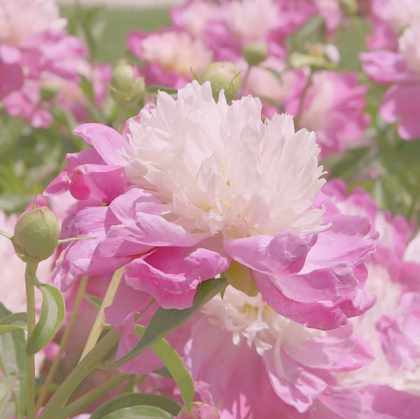 Wall Art - Photograph - Pink And White Peony Flowers by Kim Hojnacki