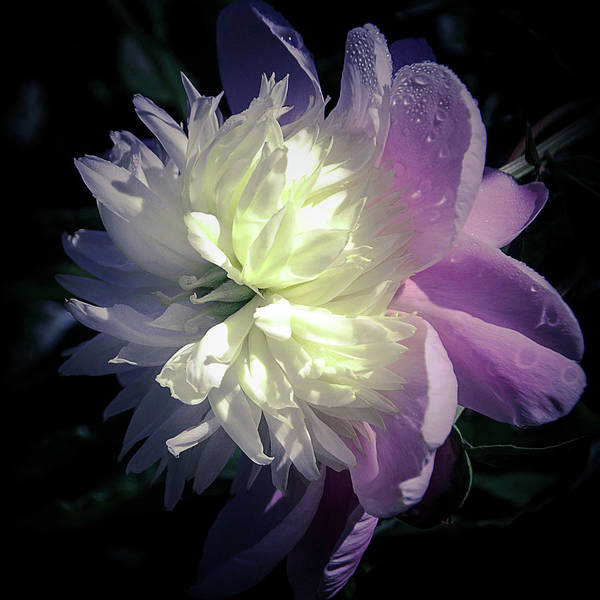 Photograph - Pink And White Peony Petals And Drops  by Julie Palencia