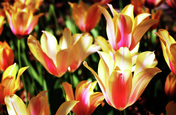 Wall Art - Photograph - Pink And Yellow Tulips by Cynthia Guinn