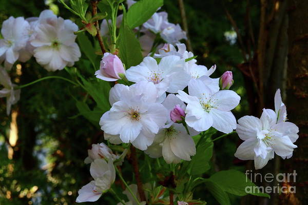 Photograph - Pink Apple Blossoms  by Christiane Schulze Art And Photography