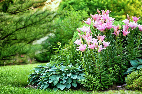 Rockville Photograph - Pink Asiatic Lilies And Hostas by Maria Mosolova