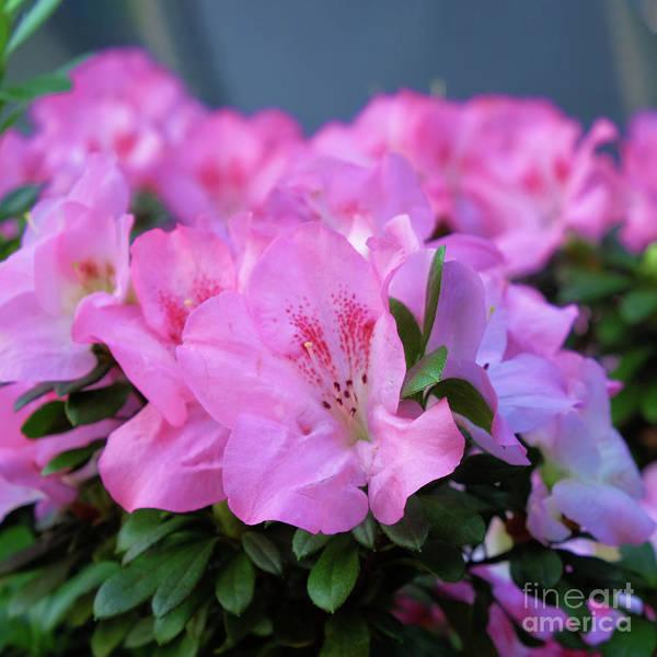 Photograph - Pink Azalea Floral Pattern by Marina Usmanskaya
