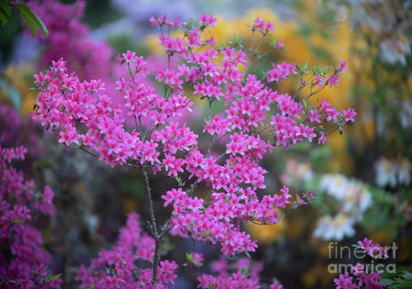 Wall Art - Photograph - Pink Azaleas Garden Light by Mike Reid