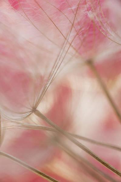 Wall Art - Photograph - Pink Baby Dandelion by Iris Greenwell
