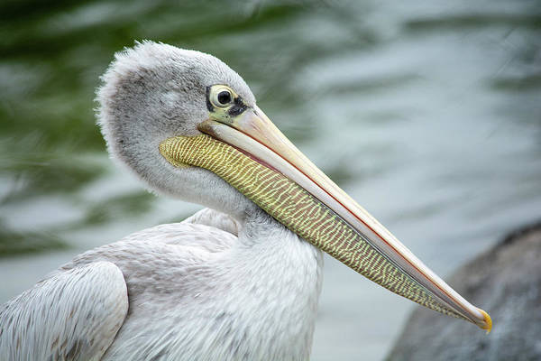 Photograph - Pink Backed Pelican  by Jennifer Wick
