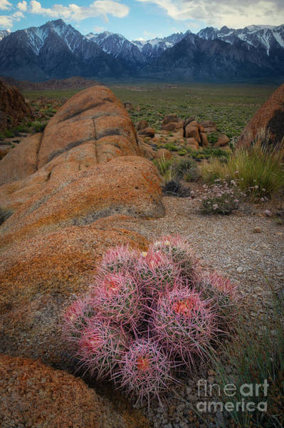 Wall Art - Photograph - Pink Barrel Cacti  by Michael Ver Sprill