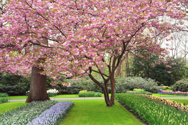 Photograph - Pink Blooming Sakura Tree In Keukenhof by Jenny Rainbow